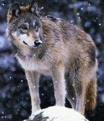 susi wolf herkku.ne
