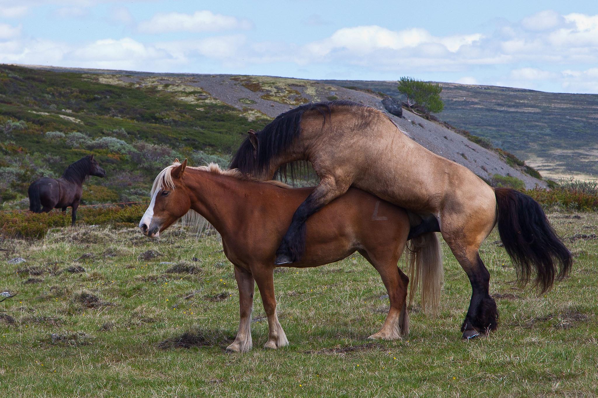 Hevosen Kiima