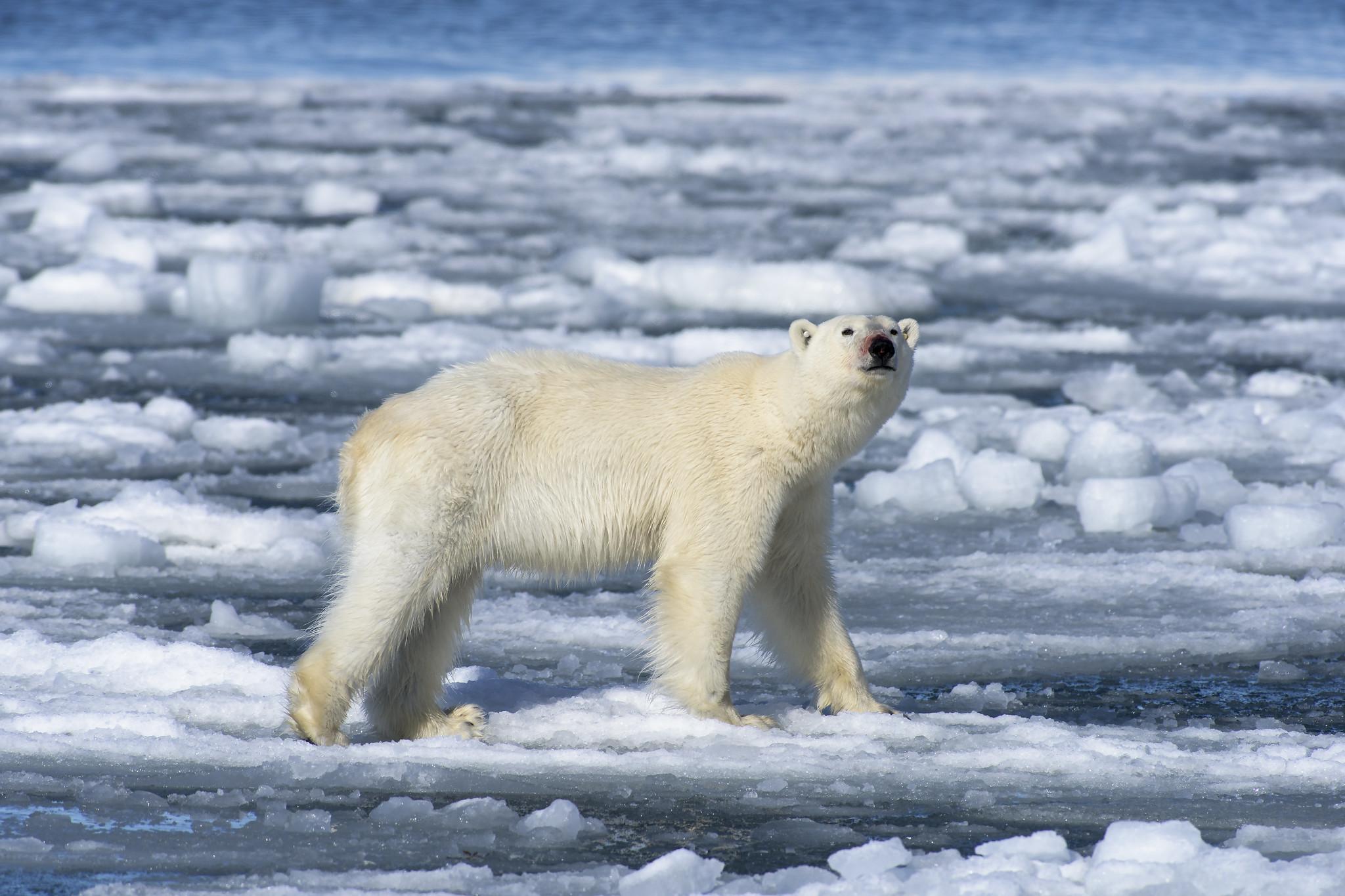 Jääkarhu Paino