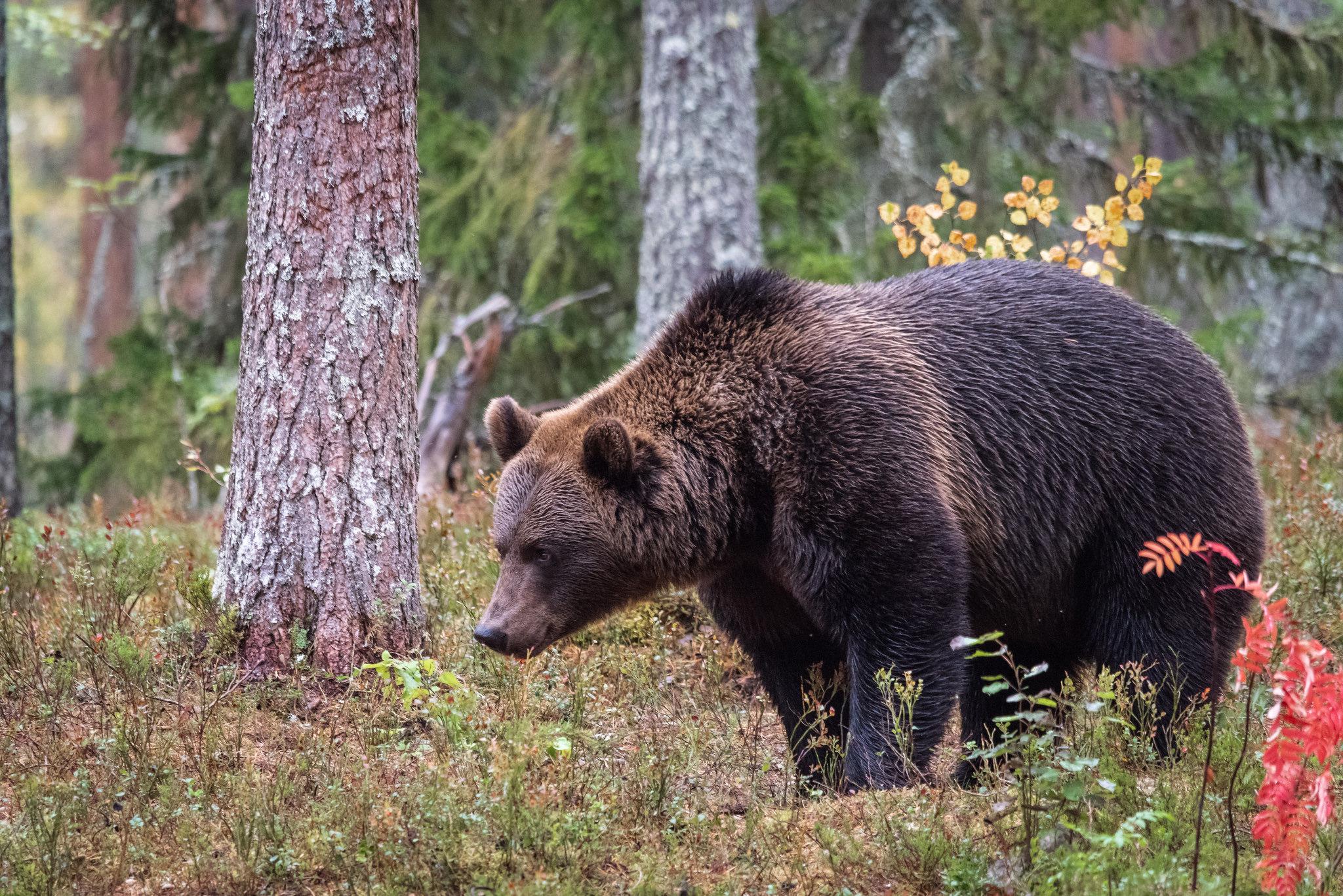 Karhu Suomessa
