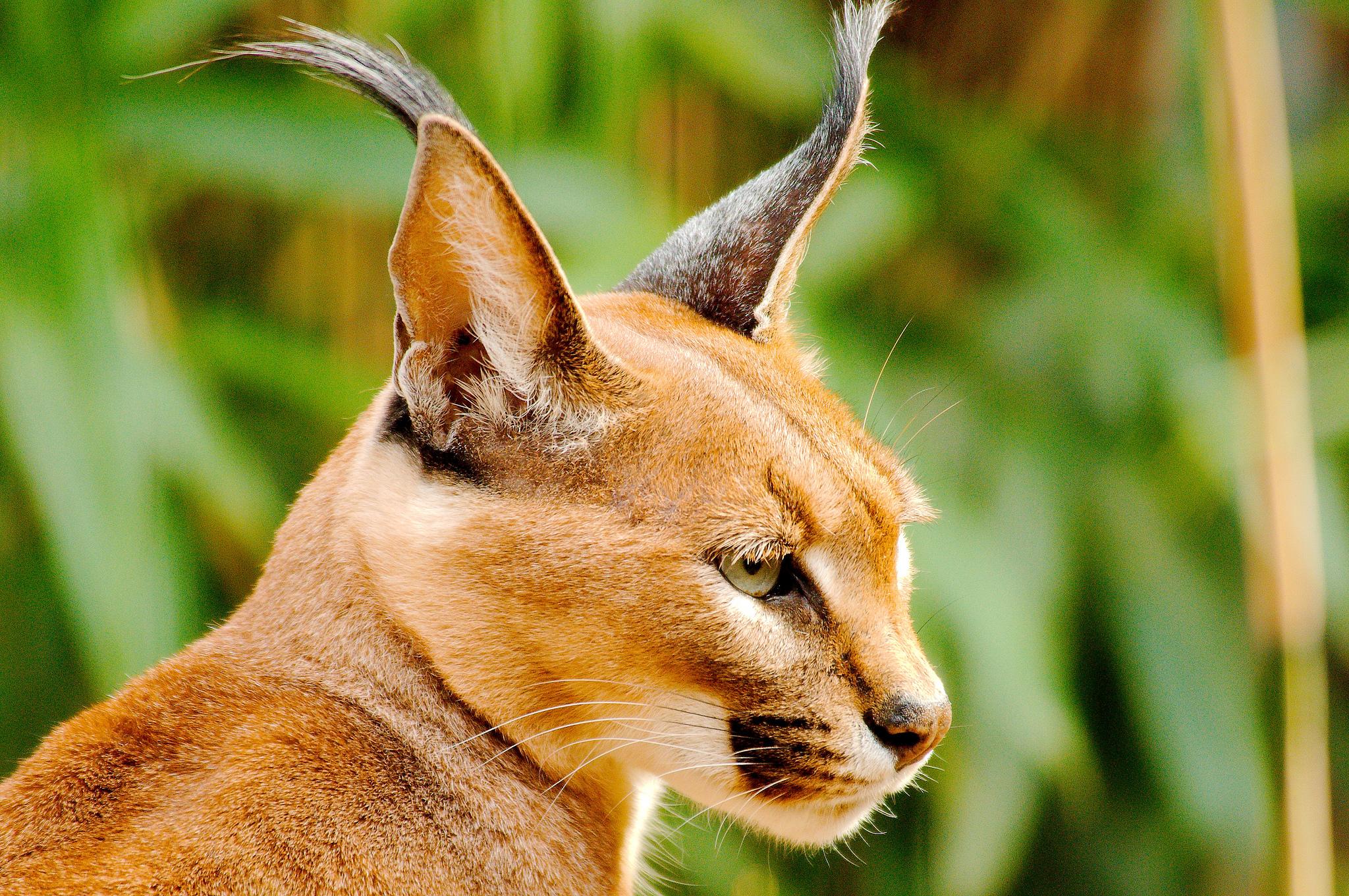 Kissaeläimet Felidae - Karakali eli aavikkoilves