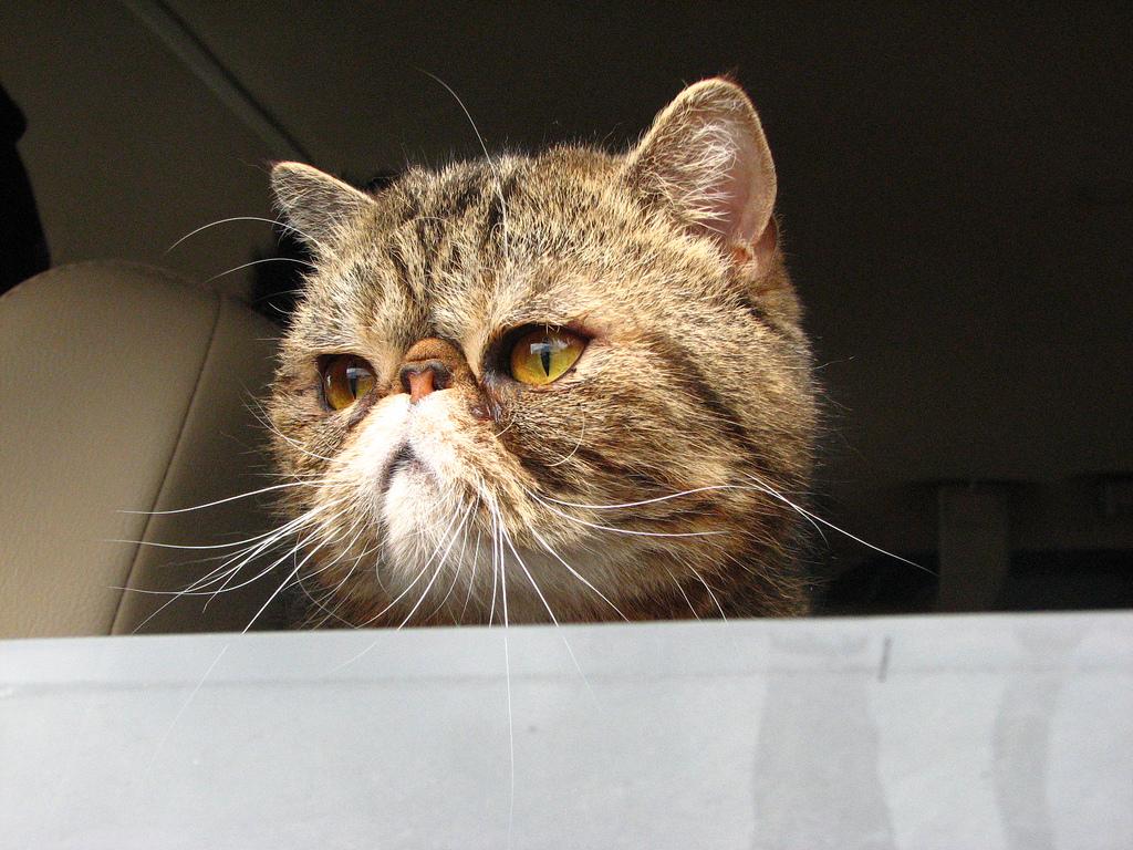 Kissa Rodut