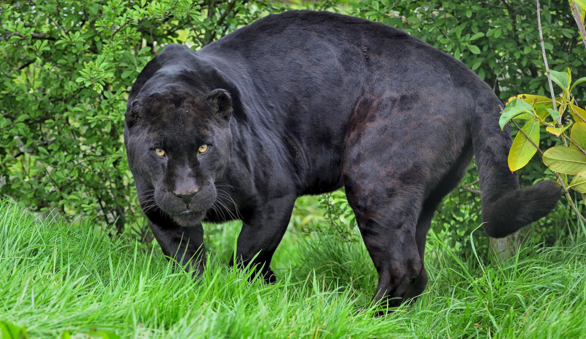 Musta Jaguaari