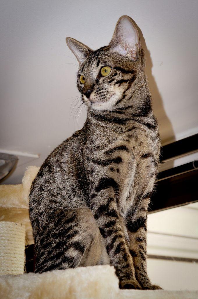 Savannah-Kissa