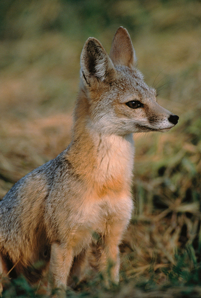 Kit fox (Vulpes macrotis)