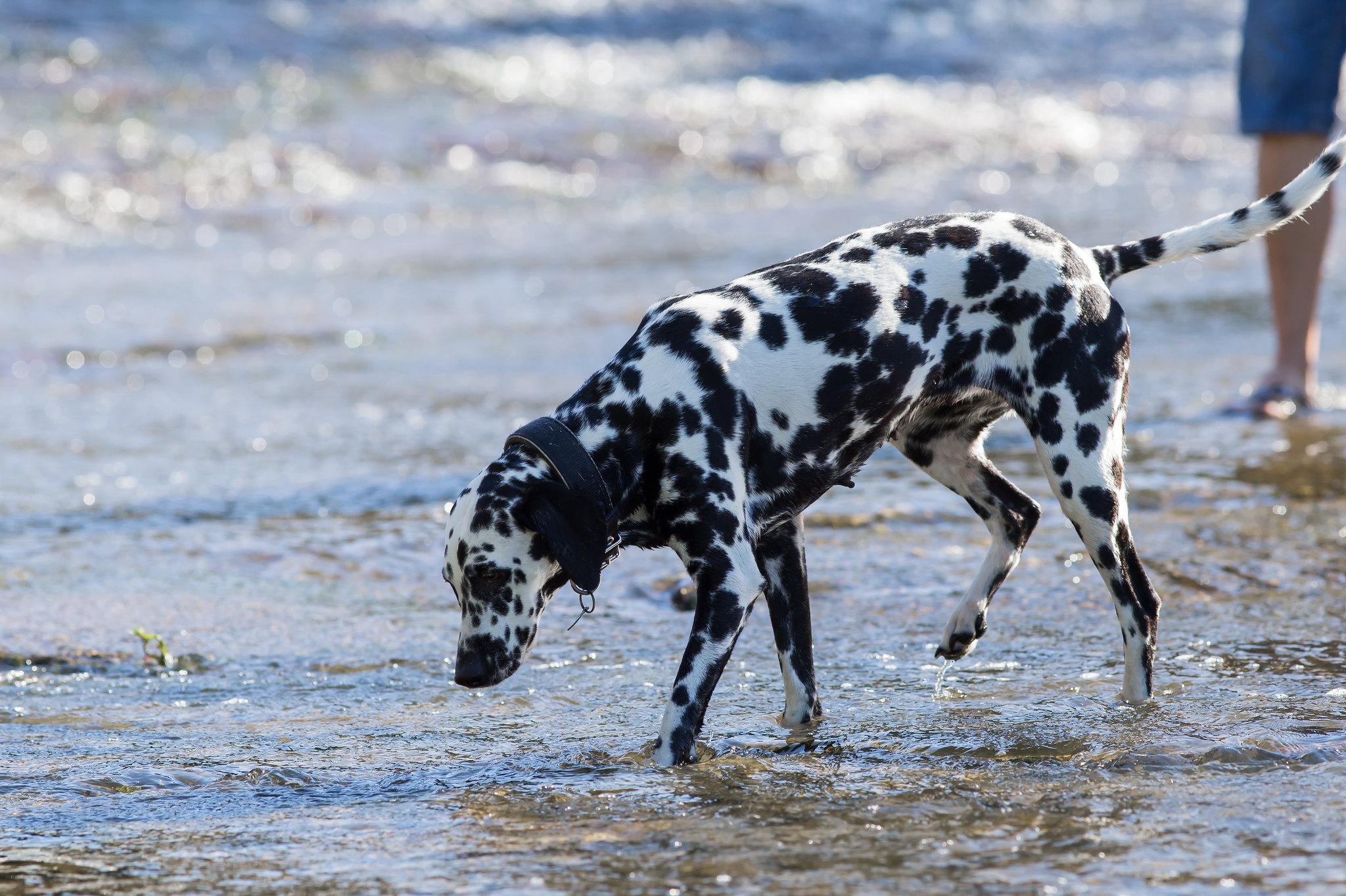 Kuvahaun tulos haulle dalmatiankoira