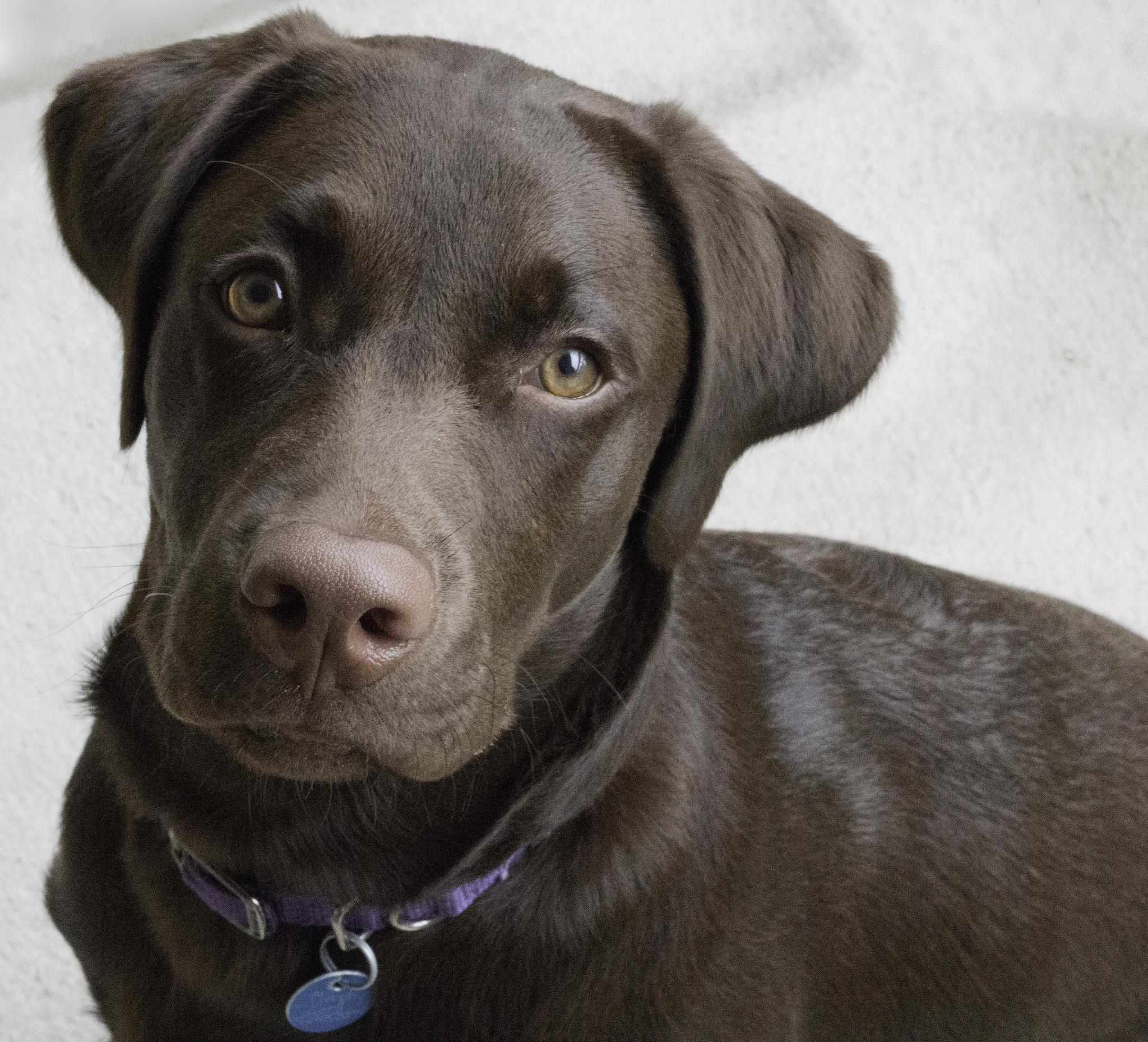 Labradorinnoutaja Pentu