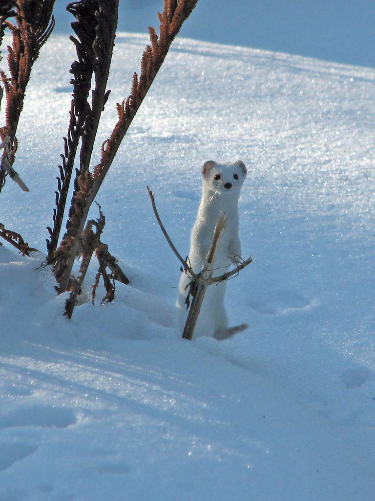 Lumikko Jälki