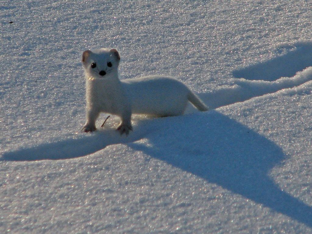 Lumikko Talvella