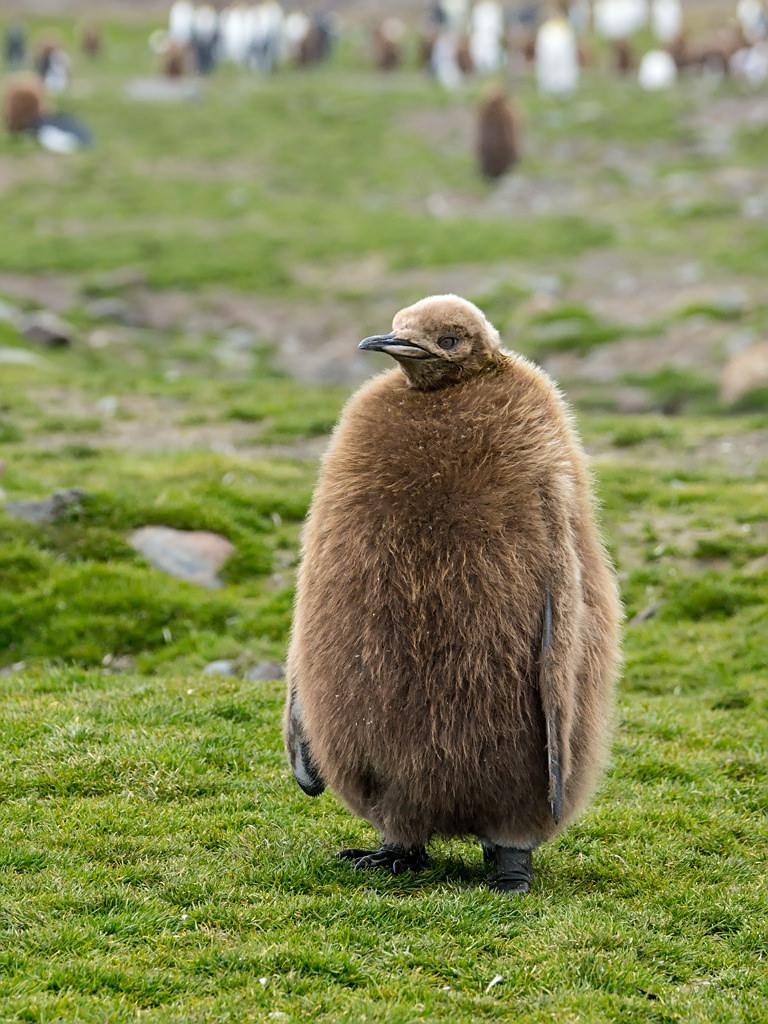 Kuningaspingviini