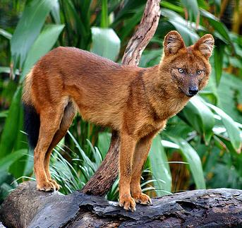 Brahmi-Dhole ( Asiatic Wild Dog) Taronga Zoo